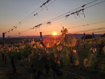 ブドウと夕陽